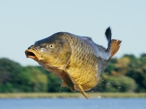 A Carp Solutions employee throws a common carp from a boat.