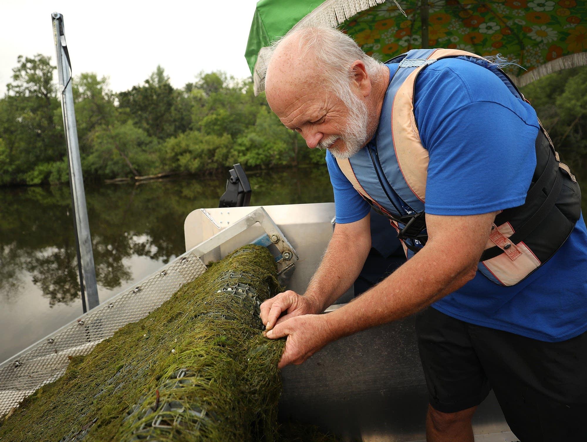 Kevin Farnum pulls off a segment of starry stonewort from a mat.