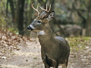 A yearling buck