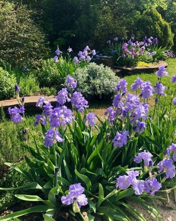 Rebecca Winn's irises on Easter morning 2020.