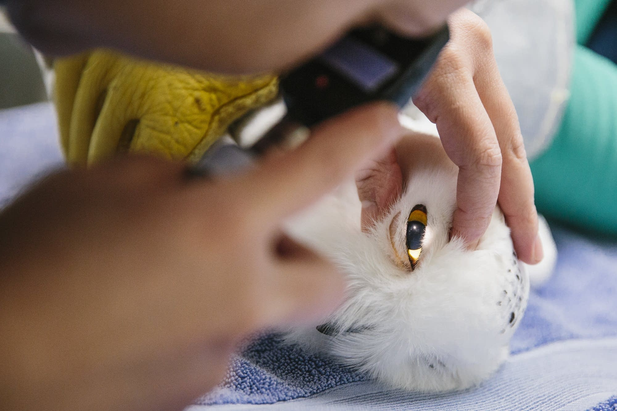 An intern checks a snowy owl's eye.