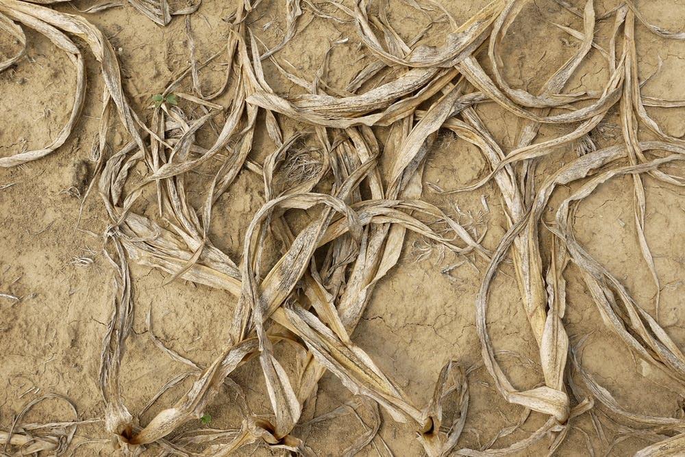 Dry corn plants