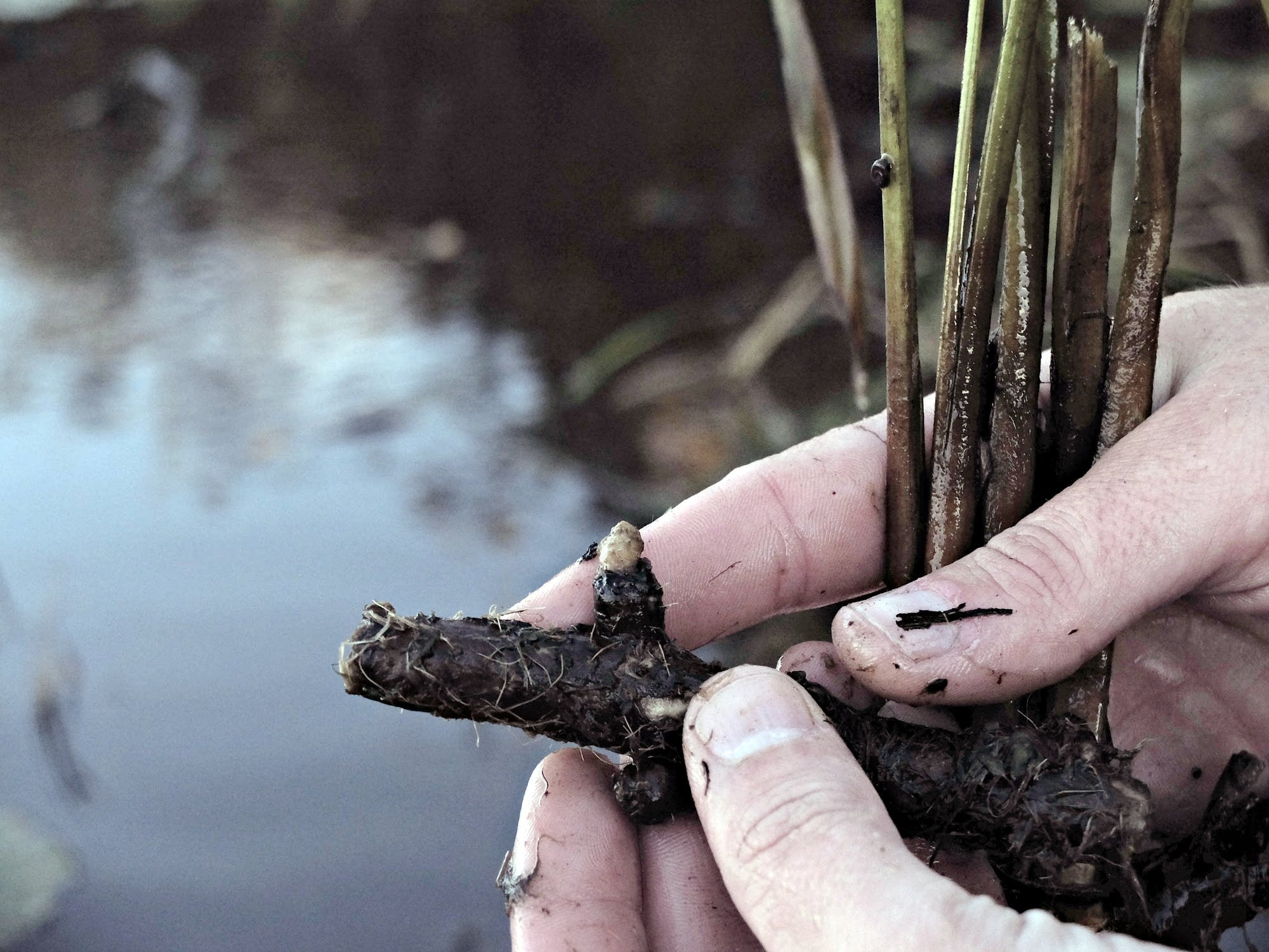 A flowering rush rhizome pulled from Lake Sallie.