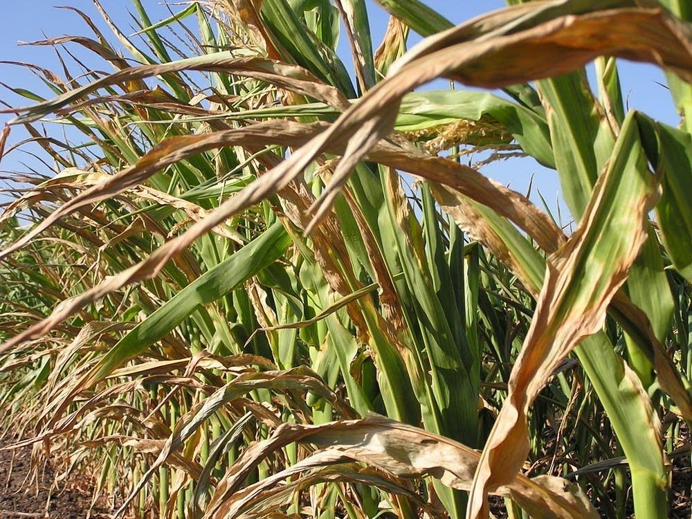 Corn under stress