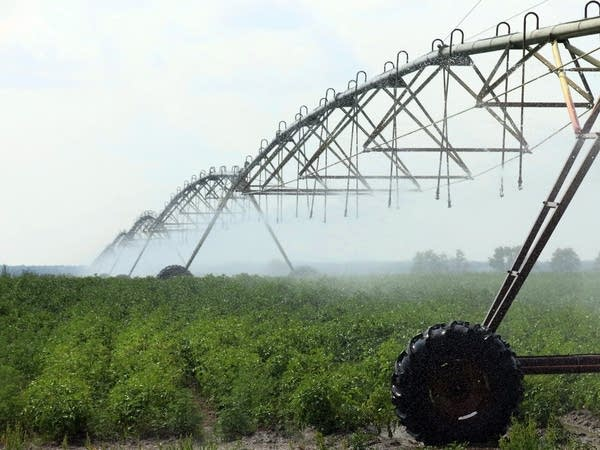 An irrigator waters potato plants