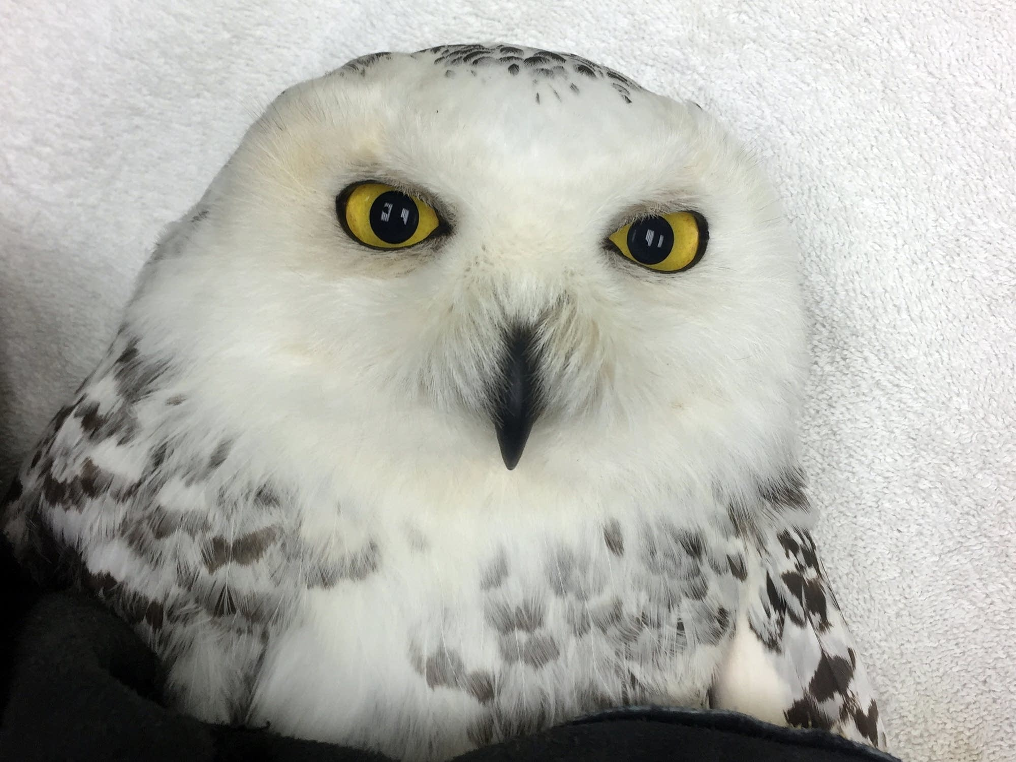 A snowy owl found in a coffee roaster in Duluth came to the Raptor Center.