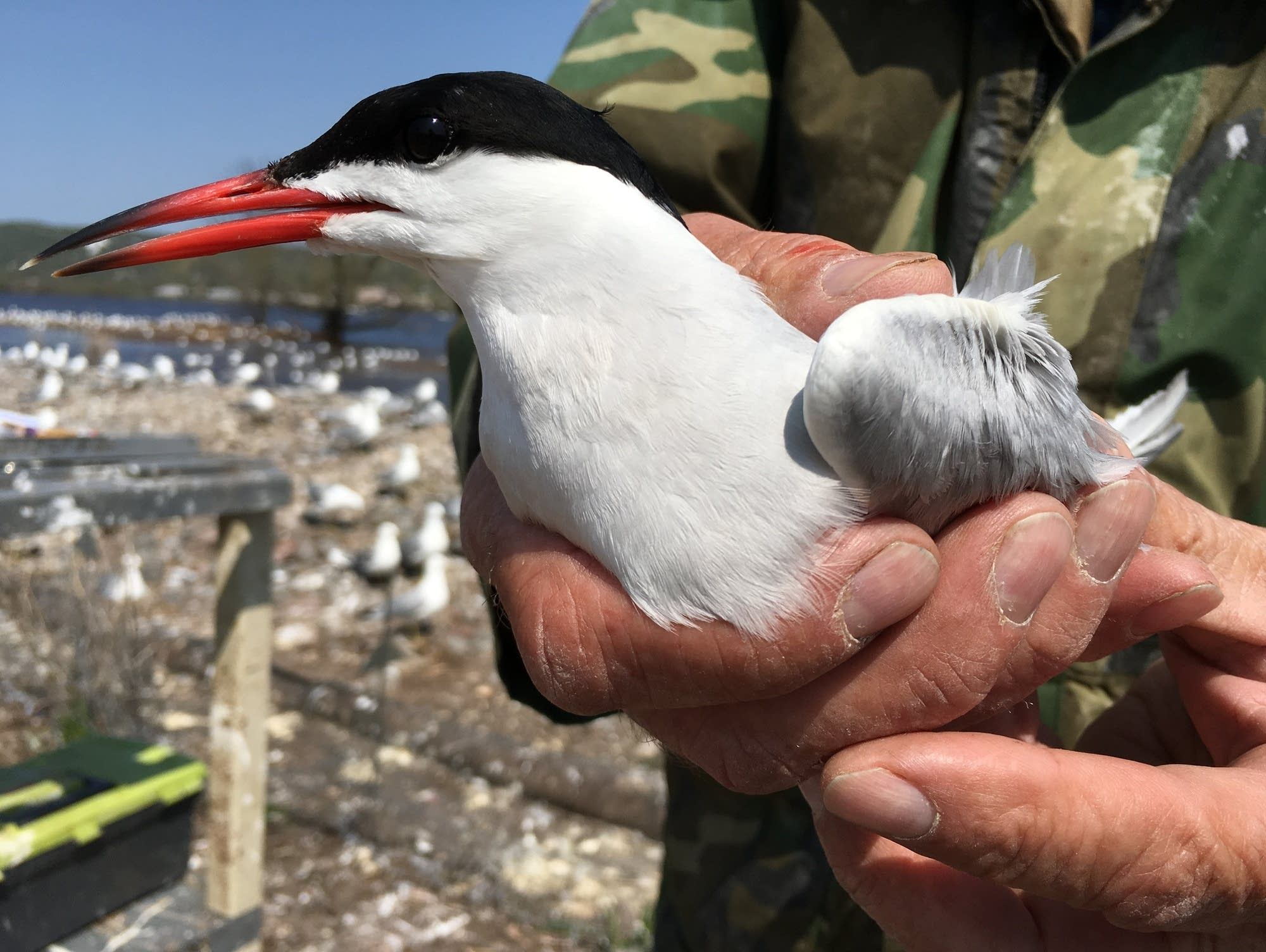 DNR, other agencies have worked for 30 years to protect common tern.