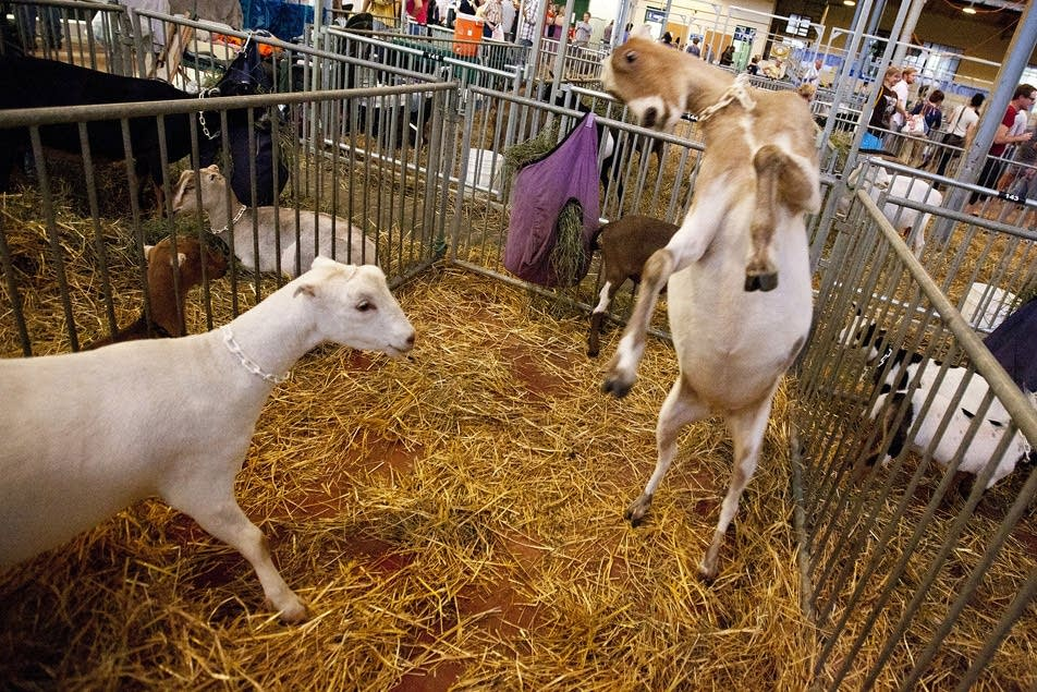 Goats at the state fair