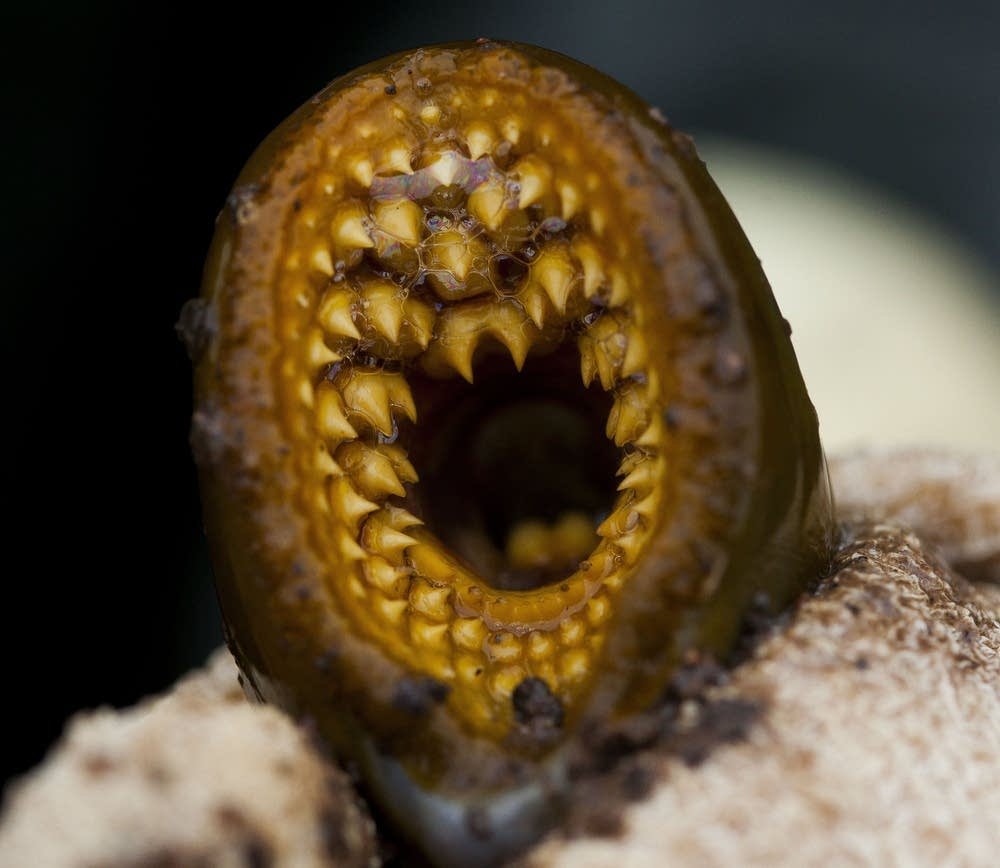 Photos: Fighting sea lamprey in Lake Superior | Minnesota ...