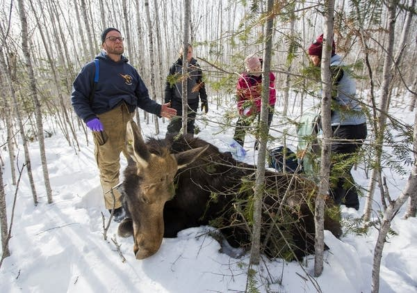 Seth Moore and other researchers collar a moose.