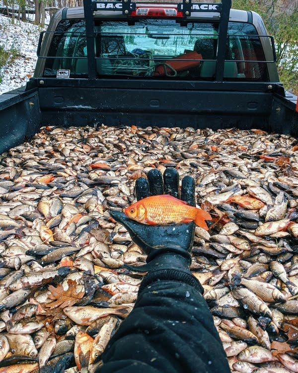 A hand holding a goldfish in front of a truck bed full of goldfish.