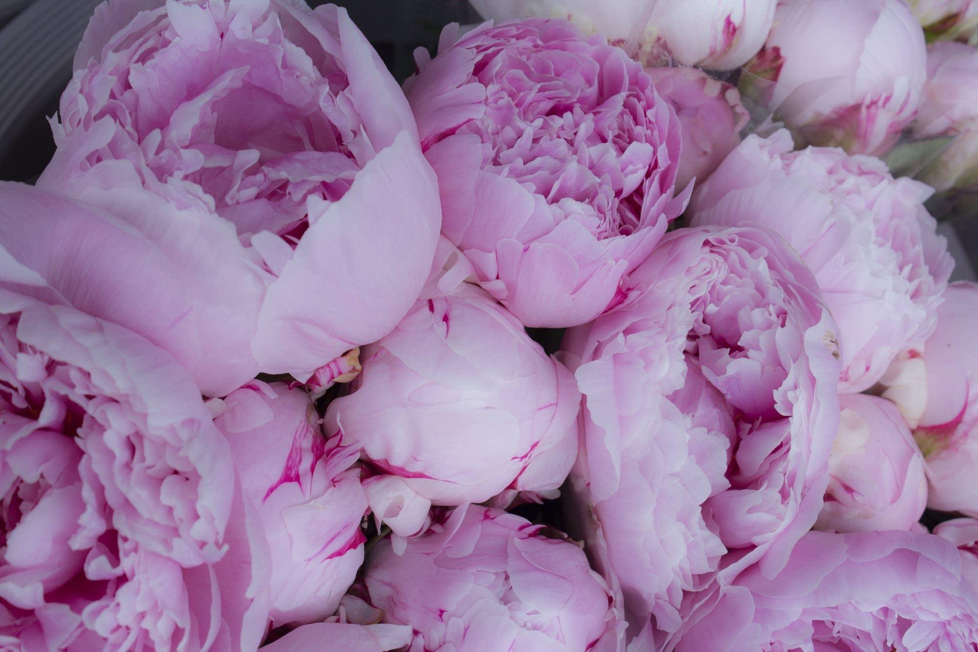 Alesund - 05 - pink flowers