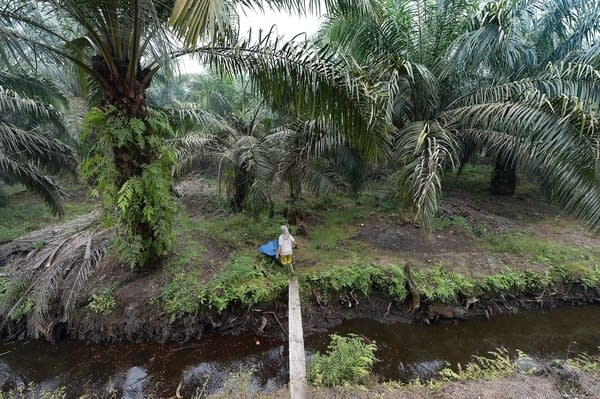 Palm oil plantations are a main cause of deforestation