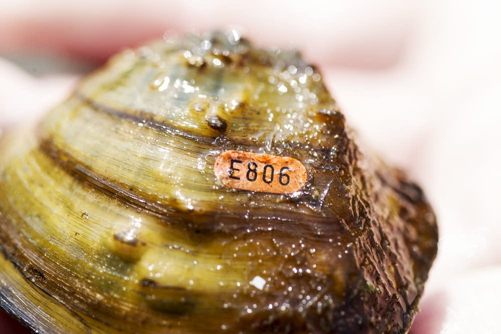 A Winged Mapleleaf mussel with a tag