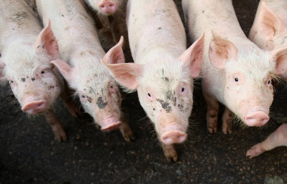 Pigs are pictured at a farm