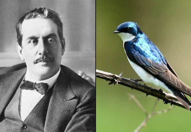 Puccini and Swallow