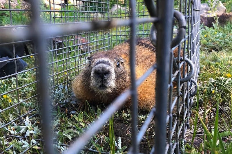 A yellow-bellied marmot.