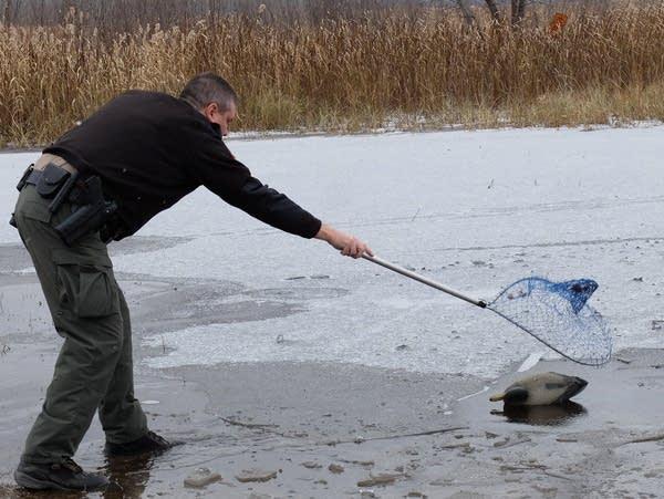 a conservation officer retrieves a duck decoy