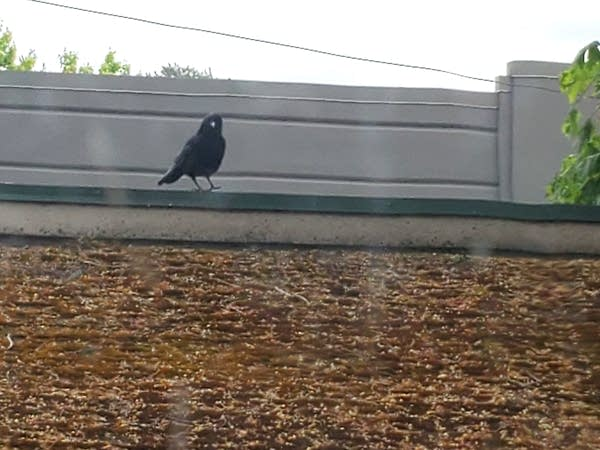 The crow that lives near Genevieve and Andrew
