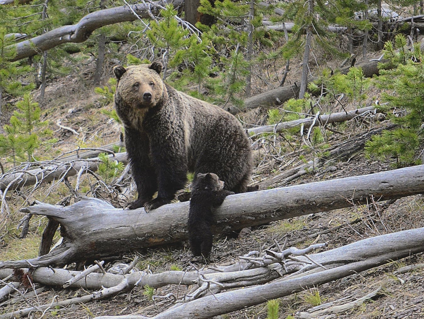 A grizzly bear and a cub are seen along the Gibbon River