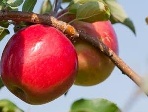 First Kiss apple