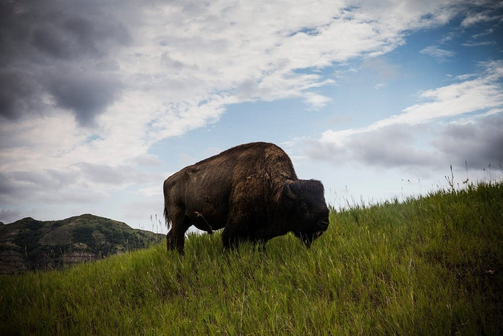 A buffalo near Watford City