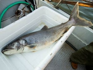 Lake trout from Lake Superior have recommended eating limits.