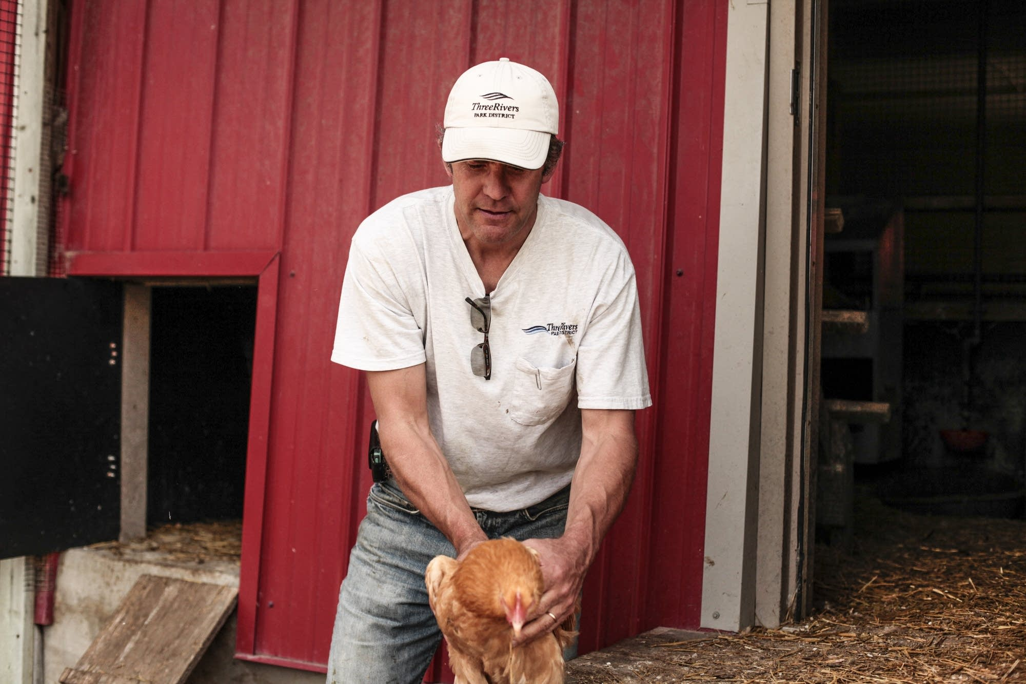 Tim Reese holds a chicken inside the chicken coop at Gale Farms.