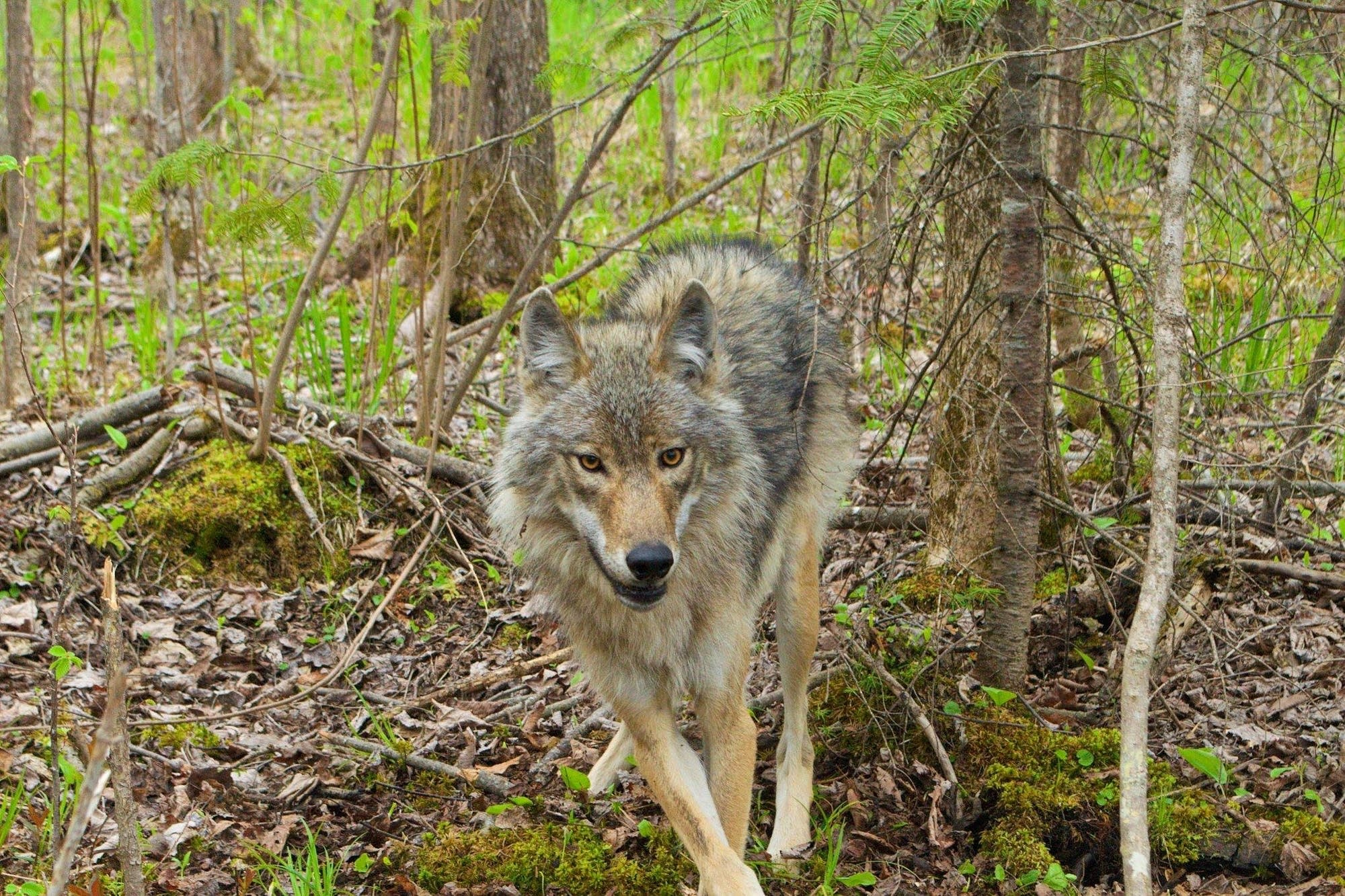 A wolf at Voyageurs National Park.