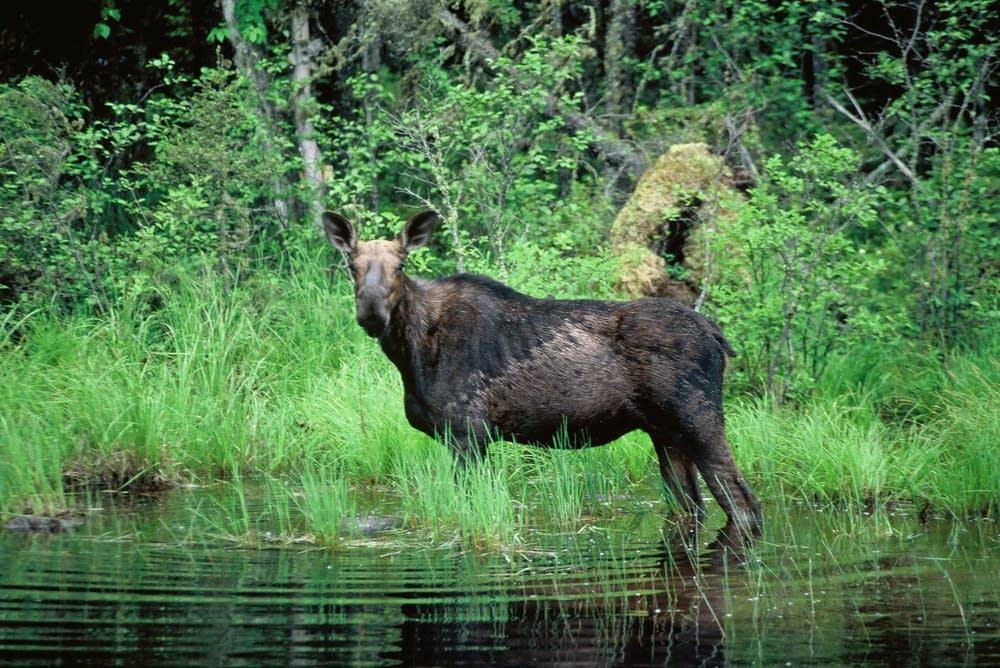 A moose near the BWCA