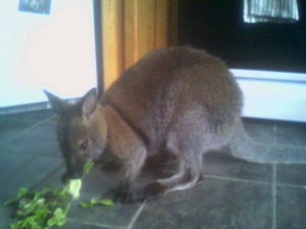 Man turns to Craigslist in search for missing wallaby | MPR News
