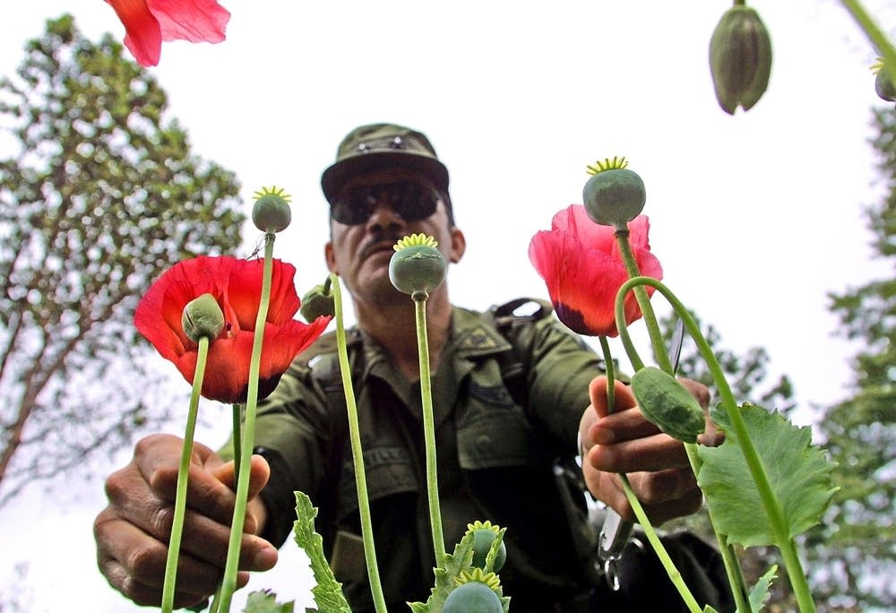 A Mexican Army soldier holds poppy plants that wer