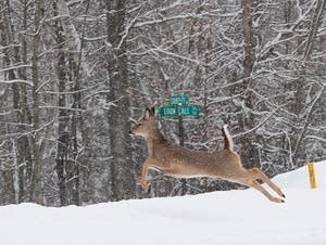 A whitetail deer