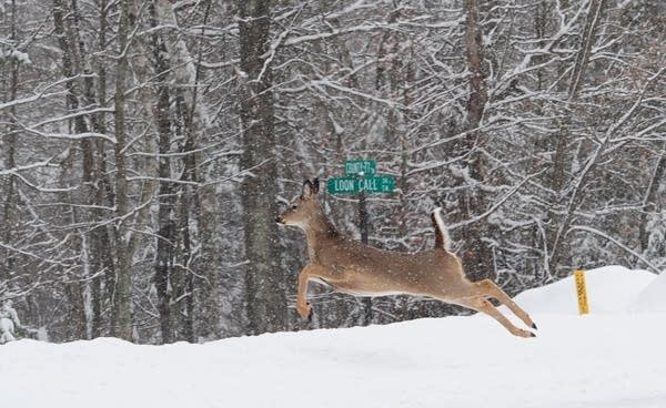 A deer bounds into a ditch in Lake Shore, Minn.