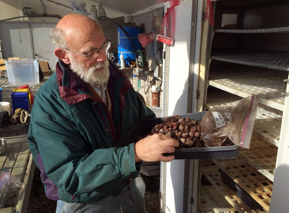 Philip Rutter checks a tray of sprouted chestnuts.
