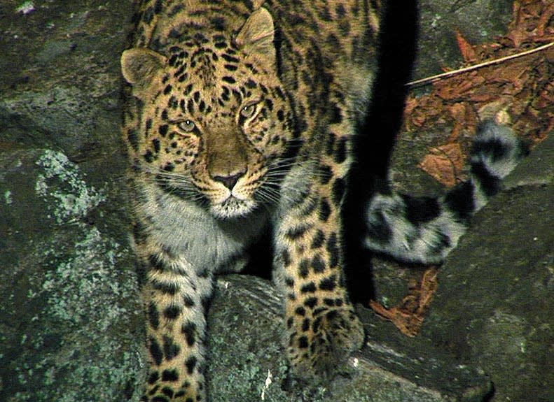 Amur leopard in the wild