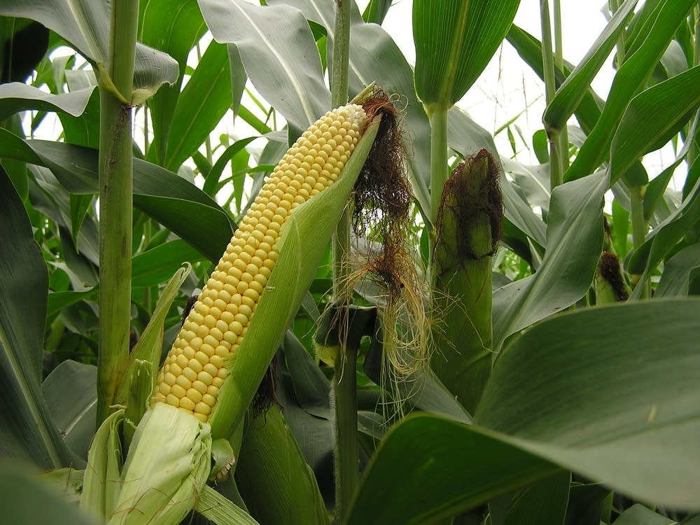 Healthy ear of corn