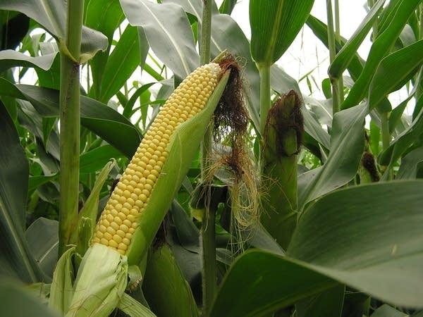 Healthy ear of corn