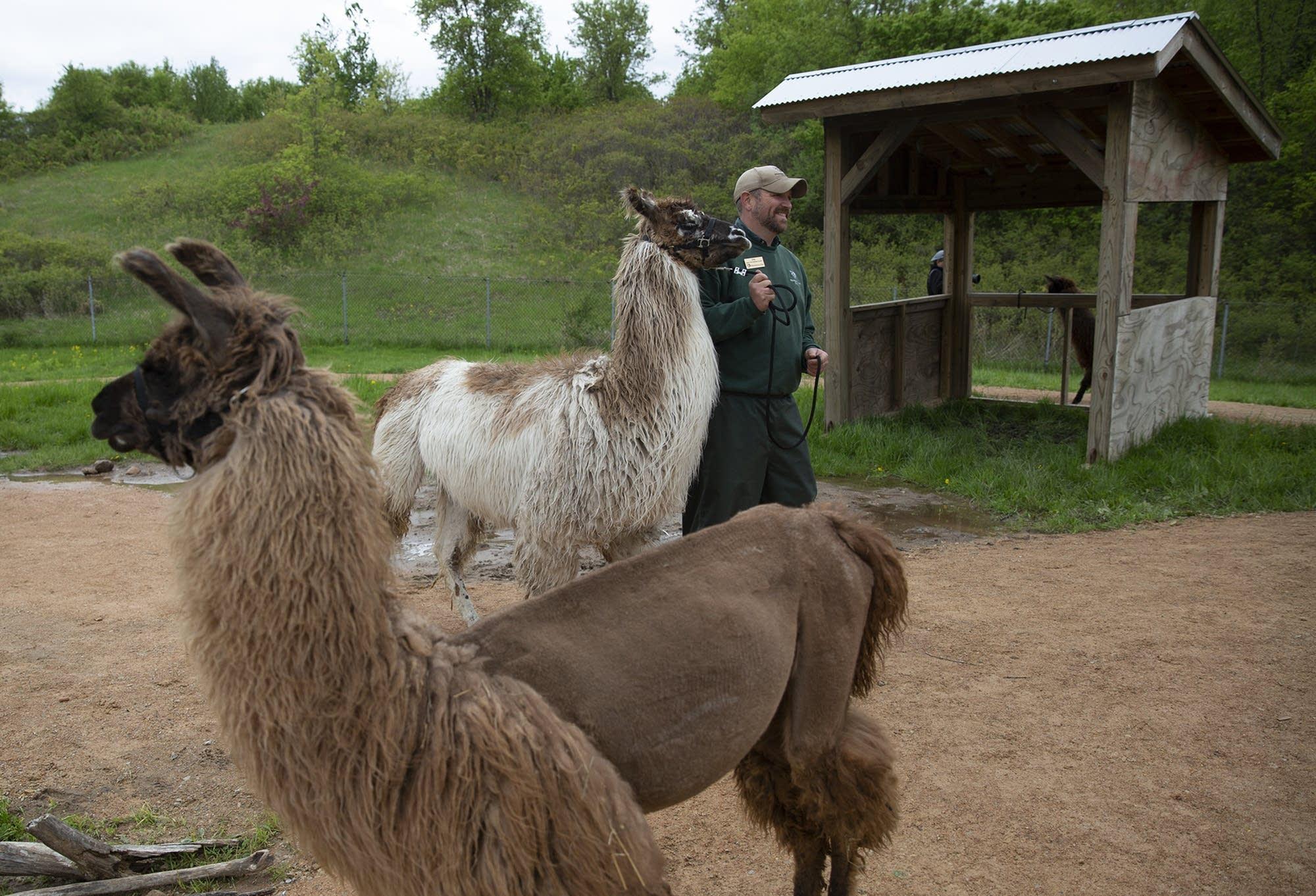 Jim Sanford, assistant curator of Llama Trek, walks a llama.