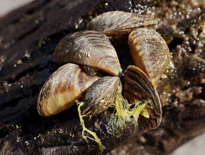 Zebra mussels have made a lake known for water clarity even clearer.