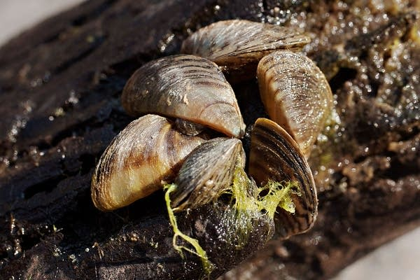 Cluster of mussels