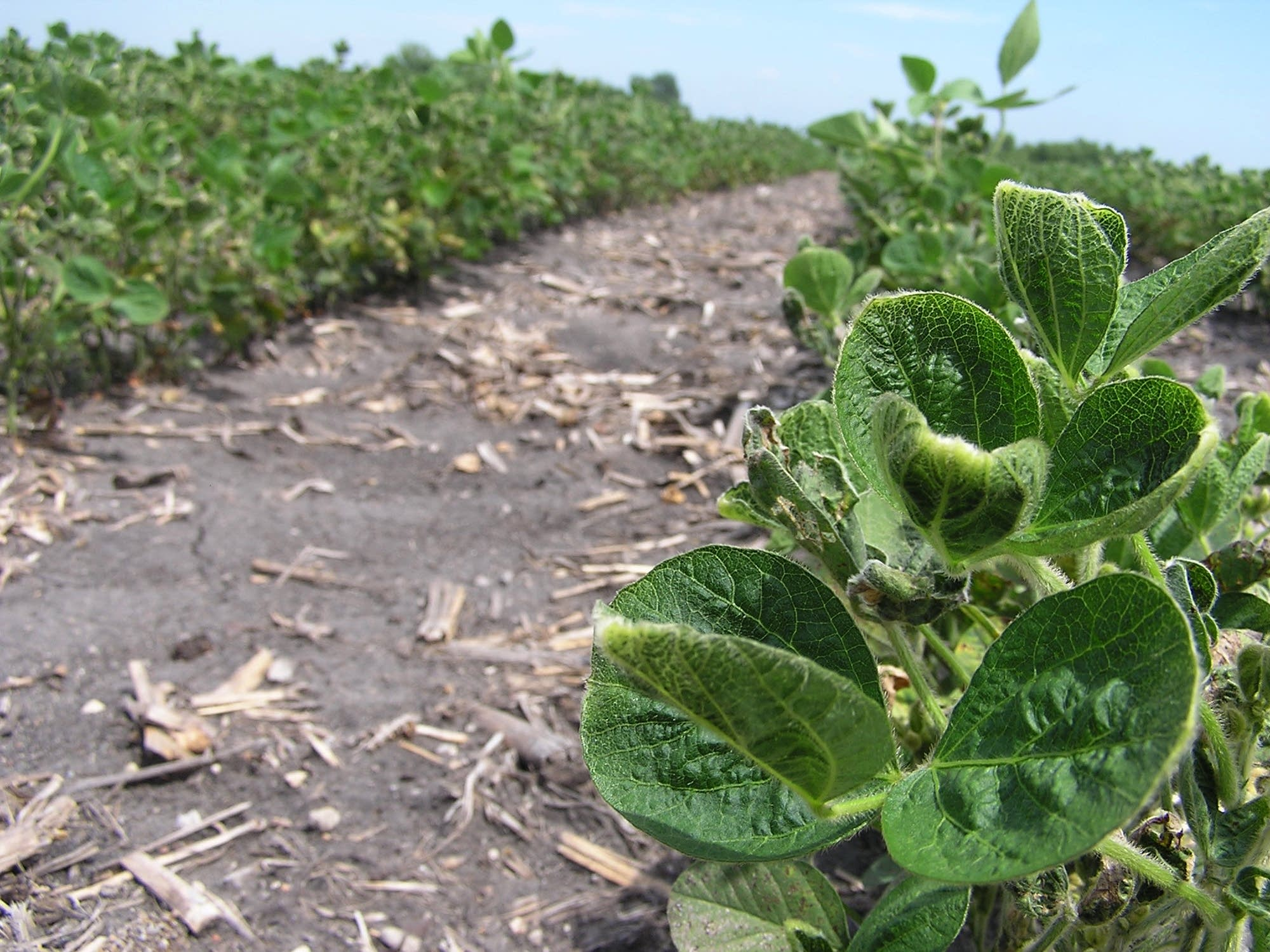Crop consultants believe dicamba drift caused rounded, cupped leaves.