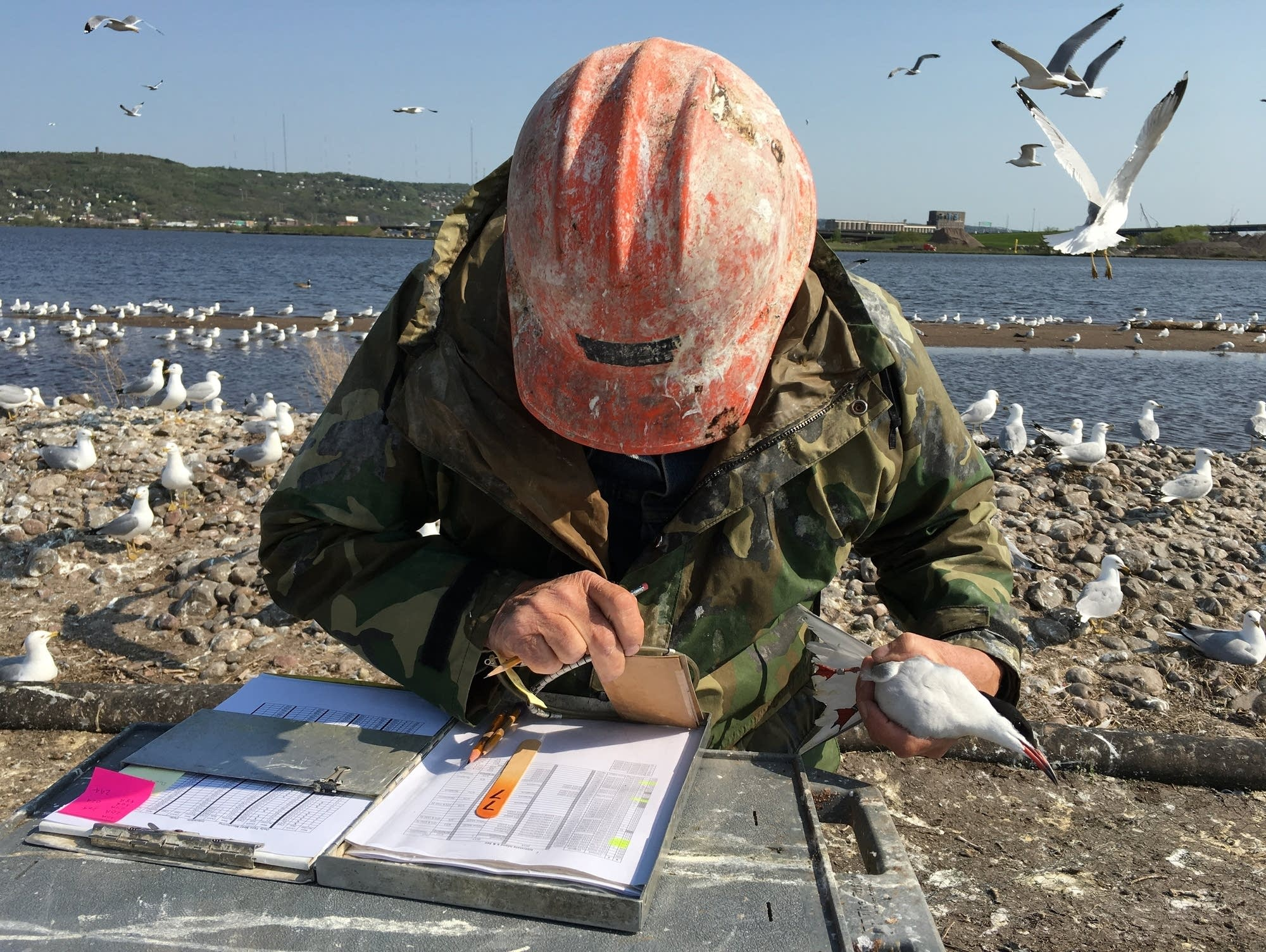 Minnesota DNR volunteer Fred Strand looks up information on a common tern.