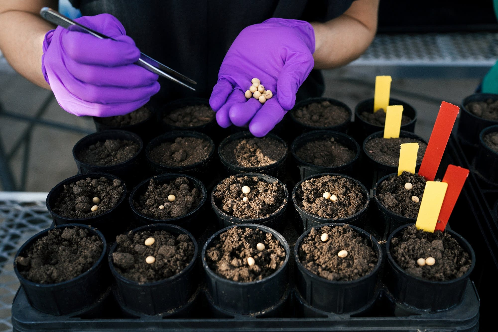 A researcher adds soybean seeds to soil samples.