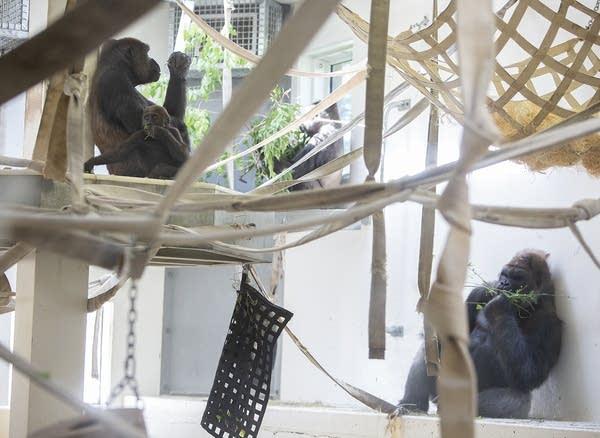 Gorillas Alice, Nyati and Schroeder eat in the behind-the-scenes habitat.