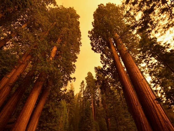 Giant sequoia trees stand among smoke-filled skies