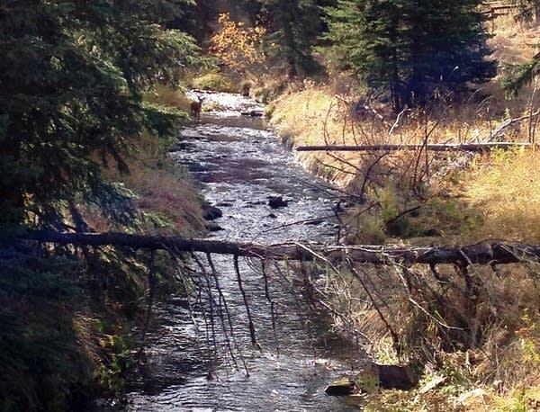 A deer stood downstream from the Gilt Edge Mine.