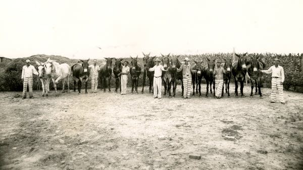 Prisoners with mules. Parchman, Mississippi.