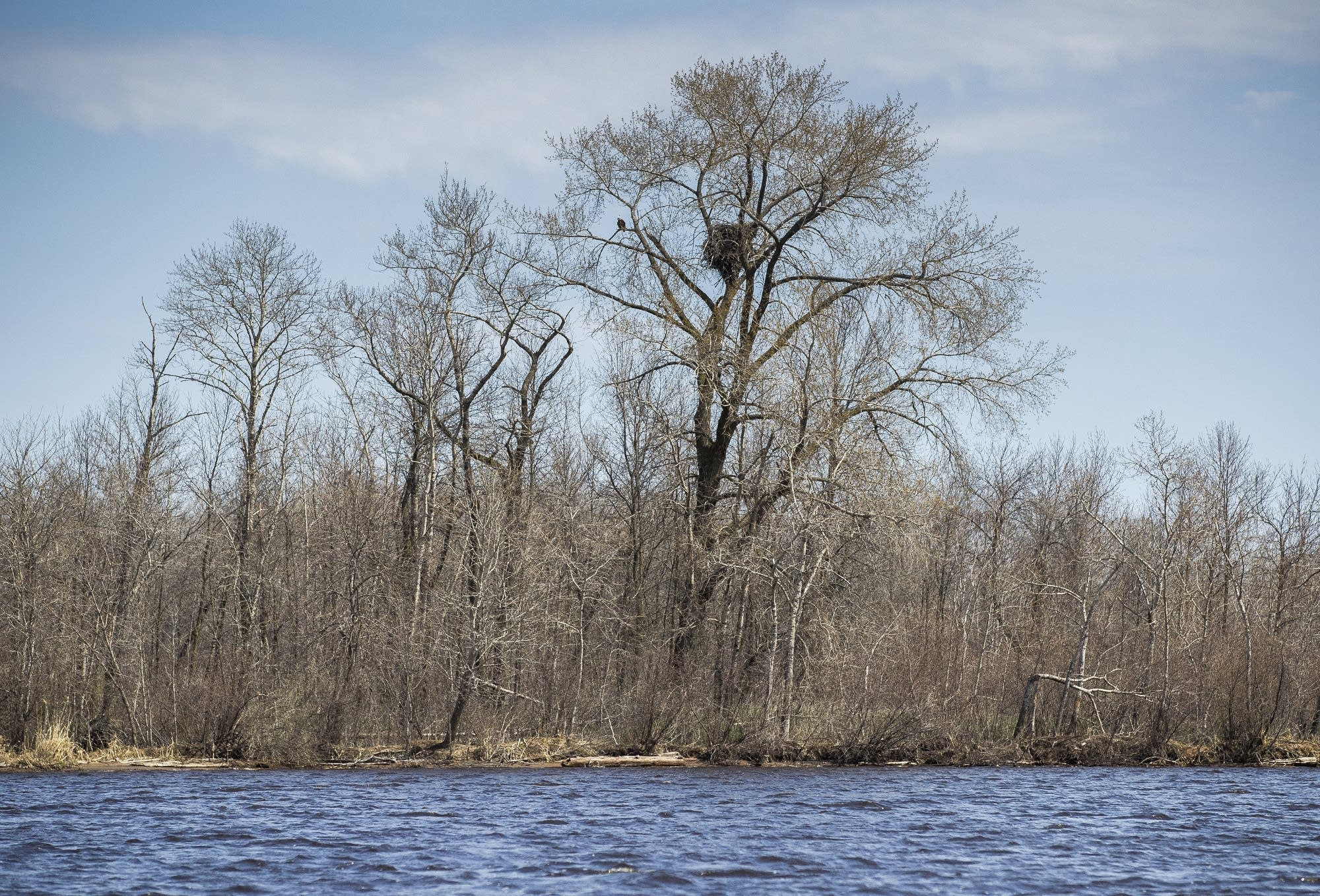 A bald eagle nests in a tree on an island in the St. Louis River.