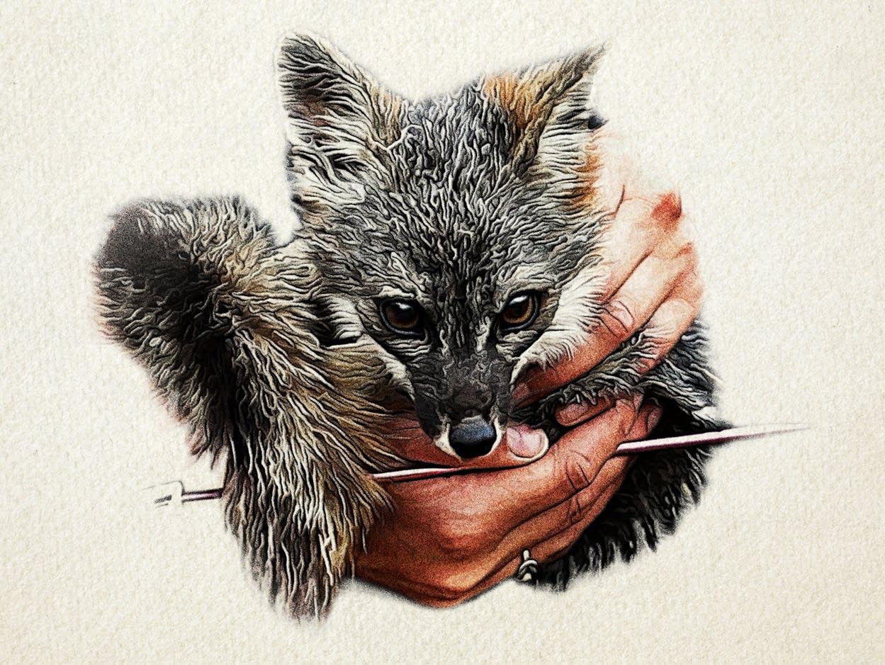 An island fox